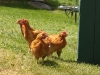 chickens at blue ribbon farm